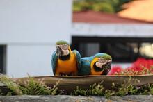 Portrait Of Two Macaws Eating, Caracas, Venezuela
