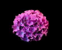 Purple Hydrangea Flowerhead Is...