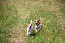 Happy Dogs Of The Jack Russell Terrier Breed Walk And Run In The Meadow, Mating Dogs And Breeding.