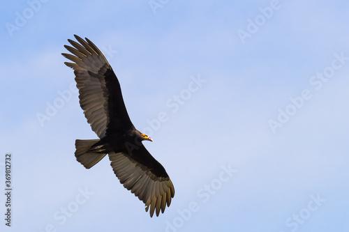 Fotografija Lesser Yellow-headed Vulture flying at blue sky