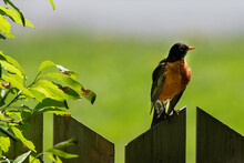 An American Robin Perched On A...