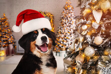 Adorable Bernese Mountain Dog With Santa Hat In Room Decorated For Christmas
