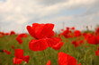 Beautiful red poppy flower growing in field, closeup