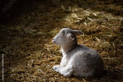 Fototapeta a sleeping lamb obraz