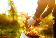Male Hand Collects And Piles Fallen Autumn Leaves  Into A Big Sack. Cleaning Service Concept. Raking Leaves On The Lawn.