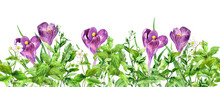 Crocus Flowers, Green Grass. Horizontal Seamless Floral Border. Meadow Flowers, Wild Plants. Watercolor Repeated Frame Stripe