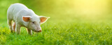Fototapeta Sawanna - funny young pig is standing on the green grass. Happy piglet on the meadow. wide banner