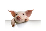 Fototapeta Sawanna - pig hanging its paws over a white banner