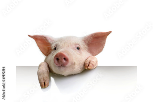 Foto pig hanging its paws over a white banner