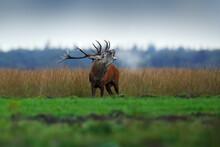 Red Deer, Rutting Season, Hoge...