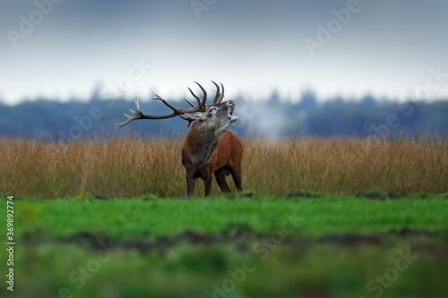 Fotomural Red deer, rutting season, Hoge Veluwe, Netherlands