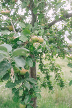 Appletree In The Summertimme