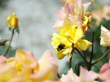 ミツバチと黄色のバラ...