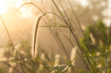 Wild Grass Or Plant With Morning Sunlight.