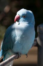 Canberra Australia, Psittacula Krameri Or Blue Indian Ring Neck Parrot