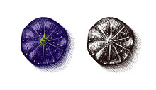 Fresh Fig. Fruit Foliage. Detox Spice. Vector Engraved Hand Drawn Sketch For Stamp, T-shirt Or Typography Or Menu.