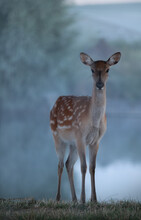 Roe Deer In The Wild At Dawn Near The River