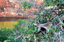 Black Footed Rock Wallaby Feeding On A Bush