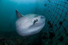 Ocean Sunfish Mola Mola Swimmi...