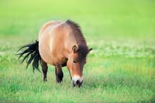 Shetland  Pony Grazing On Gree...