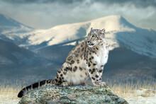 Close Up Snow Leopard Portrait...