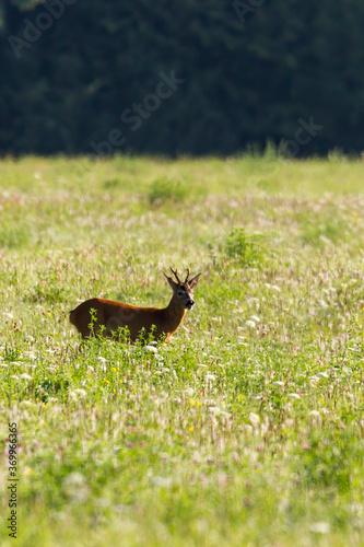 Fototapeta Young roe deer in a meadow