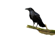 Alert Common Raven, Corvus Corax, Sitting On A Bough Covered In Green Moss Isolated On White. Wild Bird With Black Plumage And Massive Beak Perching On A Branch Cut Out On Blank.