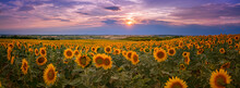 Panorama Of A Golden Yellow Sunflower Field During Sunset With A Landscape And A Colorful Purple-blue Sky In The Background