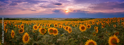 Panorama of a golden yellow sunflower field during sunset with a landscape and a Fototapet