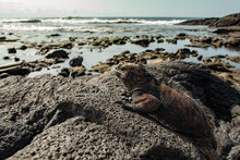 An Iguana With Shoreline In Th...