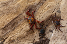 Two Colorful Crabs On A Vertic...
