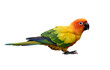 sun parakeet (Aratinga solstitialis) also known in aviculture sun conure most lovely and beautiful small yellow parrot