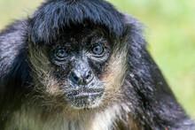 Portrait Of Geoffroy Spider Monkey (Ateles Geoffroyi) Black Handed Spider Monkey