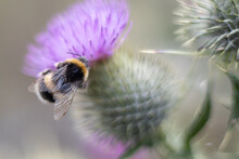 Bumblebee Busy Being A Bee On A Thistle