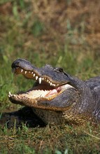 AMERICAN ALLIGATOR Alligator Mississipiensis, ADULT WITH OPEN MOUTH REGULATING BODY TEMPERATURE