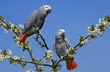 AFRICAN GREY PARROT Psittacus Erithacus, ADULTS STANDING ON BRANCH