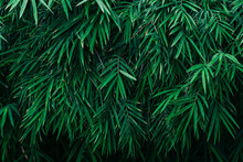 Lush Greeen Bamboo Leaves Background.
