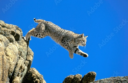 Photo BOBCAT lynx rufus, ADULT LEAPING FROM ROCK, CANADA