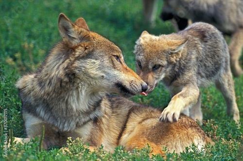 EUROPEAN WOLF canis lupus, FEMALE WITH PUP Slika na platnu