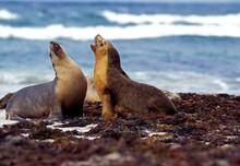 AUSTRALIAN SEA LION Neophoca C...