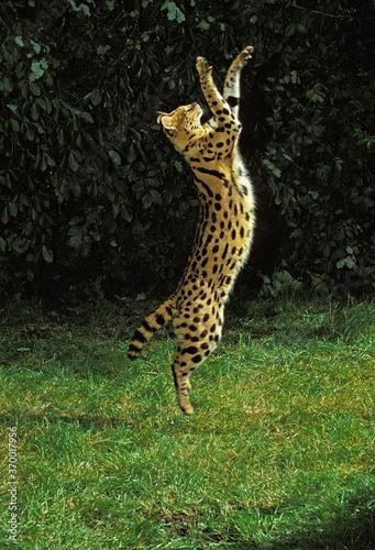 SERVAL leptailurus serval, ADULT HUNTING ON HIND LEGS Wallpaper Mural