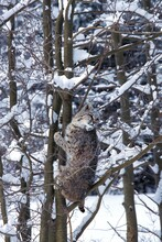 BOBCAT Lynx Rufus, ADULT CLIMBING TREE TRUNK, CANADA