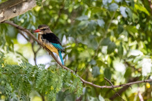 Brown Hooded Kingfisher In A Tree