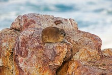 Rock Hyrax Or Cape Hyrax, Procavia Capensis, Adult Standing On Rock, Hermanus In South Africa