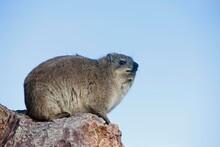 Rock Hyrax Or Cape Hyrax, Proc...