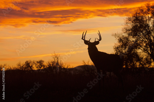 Whitetail Buck silhouette at sunset during the fall deer hunting season Fototapeta