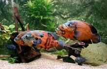 Tiger Oscar Fish, Astronotus Ocellatus, Adults