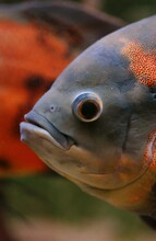 Tiger Oscar Fish, Astronotus Ocellatus, Adult, Close-up Of Head