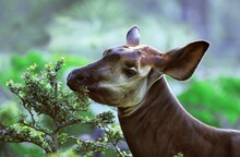 Okapi, Okapia Johnstoni, Portrait Of Female