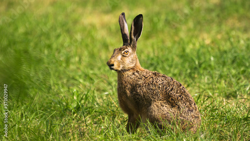 Obraz na plátně European hare (Lepus europaeus)